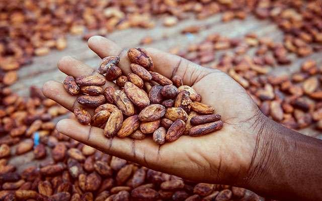Cocoa beans Nigeria - NEPC