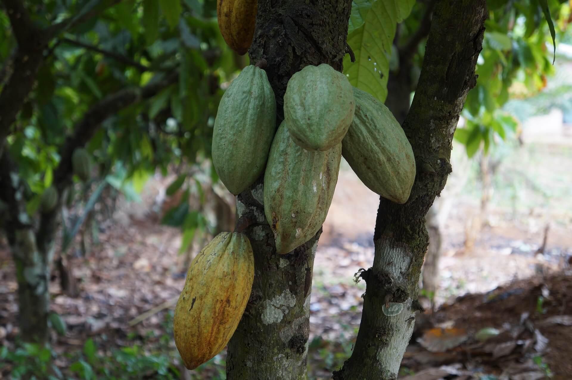 NEPC exports - export Nigeria, cocoa beans